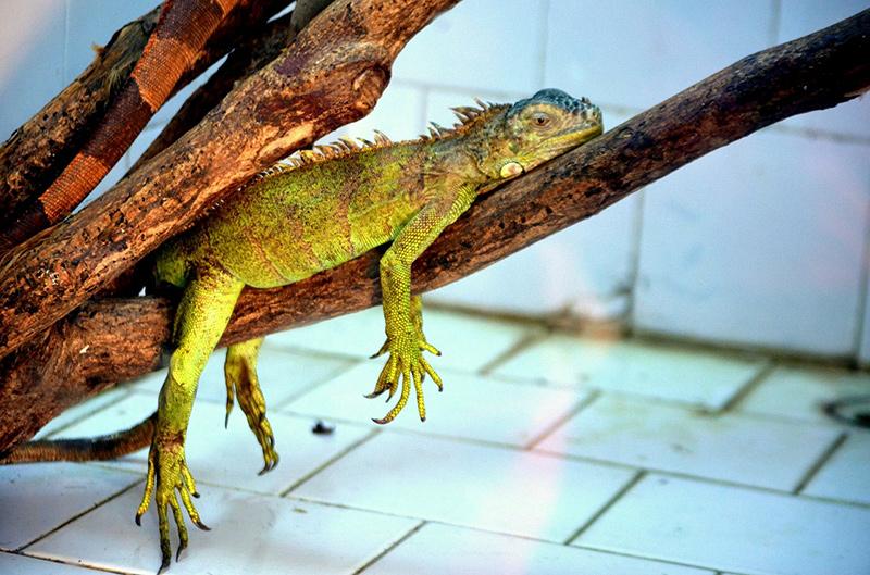 Relaxing Iguana